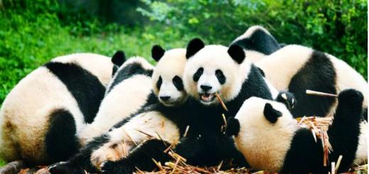 Visit the Panda Conservation Center, Chengdu, China